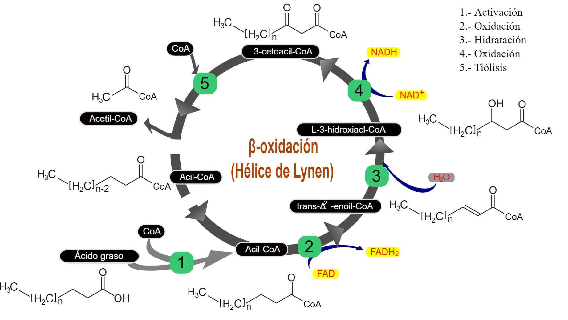 Beta Oxidación