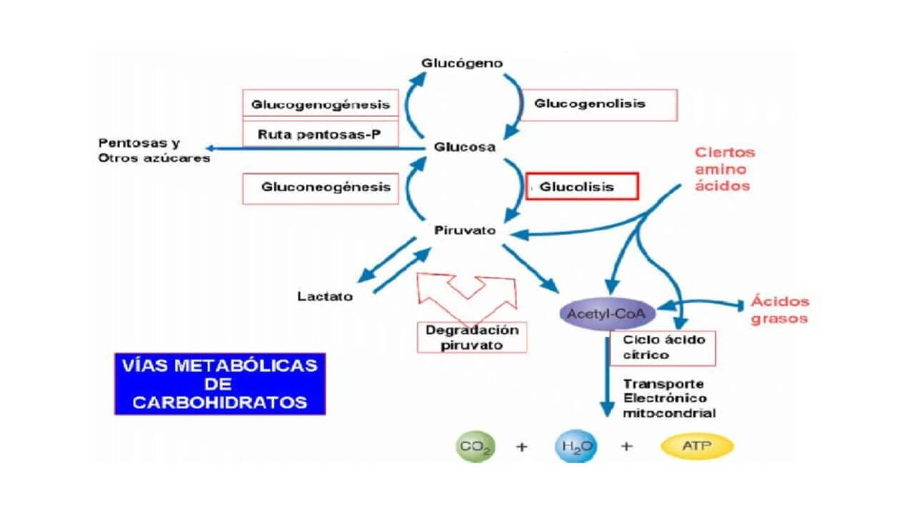 Vias Metabóliucas de Carbohidratos